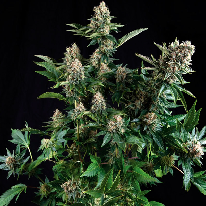 white-widow-closet-seeds